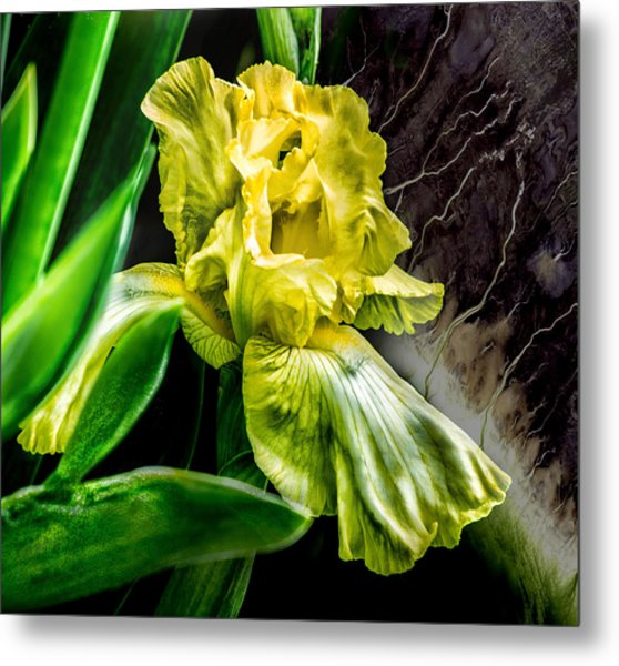Iris In Bloom Two Metal Print