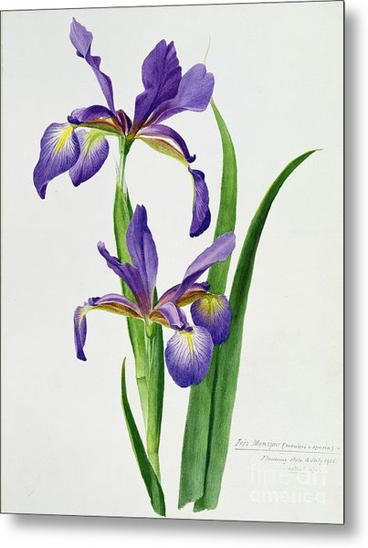 Iris Monspur Metal Print