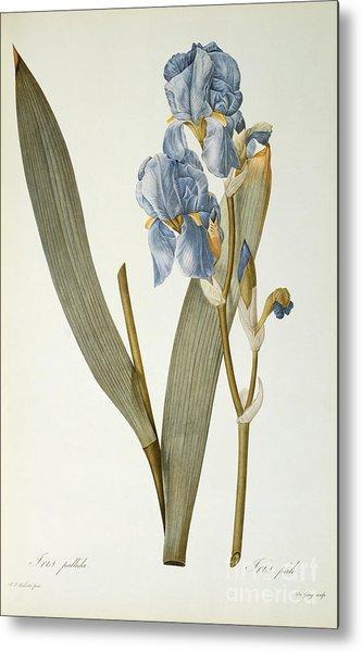Iris Pallida Metal Print