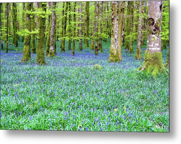 Irish Bluebell Woods - Lissadell, Sligo - New Leaves On The Trees And With A Carpet Of Blue Under Metal Print