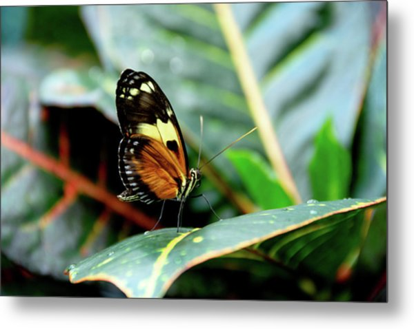 Ismenius Tiger Butterfly-2 Metal Print