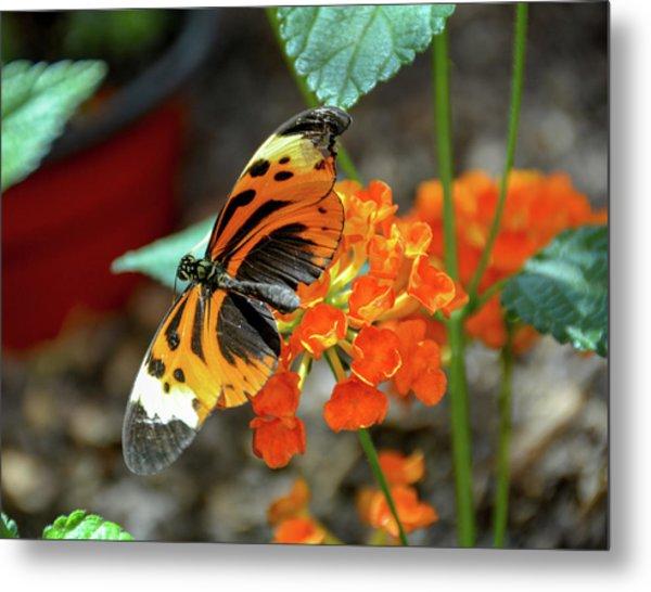 Ismenius Tiger Butterfly Metal Print