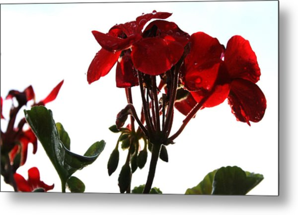 Isolated Red Geranium Metal Print by Karen Fowler
