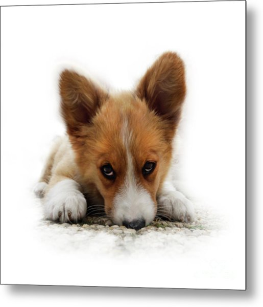 It Wasn't Me Corgi Metal Print