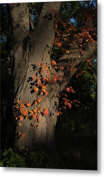 Ivy In The Fall Metal Print
