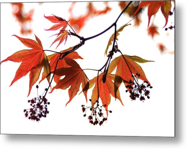 Japanese Maple 2011-2 Metal Print