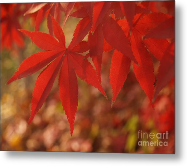 Japanese Maple In Afternoon Metal Print by Anna Lisa Yoder
