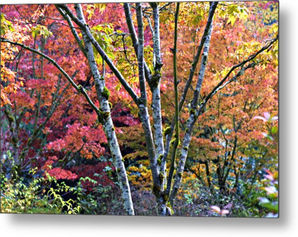 Japanese Maples In Full Color Metal Print