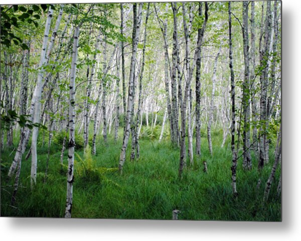 Jesup Path Birches Metal Print by Steven Scott