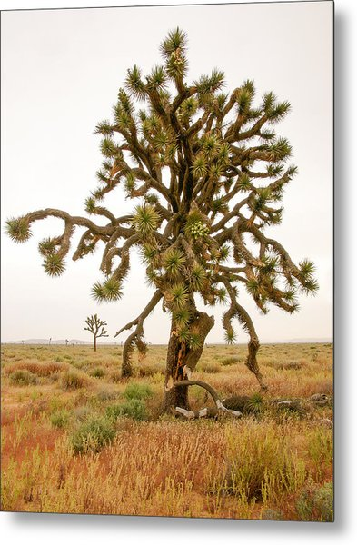 Joshua Trees In Desert Metal Print