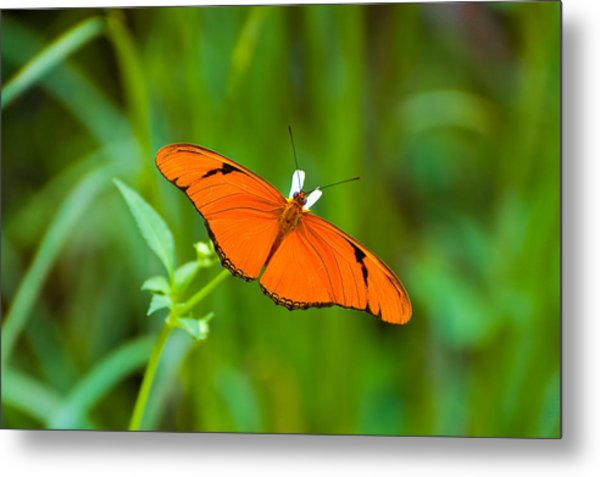Julia Butterfly Metal Print by Rich Leighton