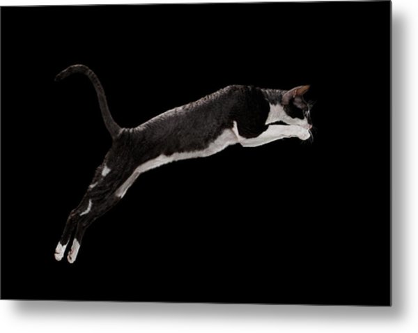 Jumping Cornish Rex Cat Isolated On Black Metal Print