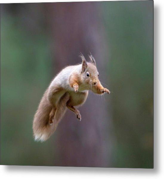 Jumping Red Squirrel Metal Print