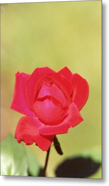 Just A Rose Metal Print