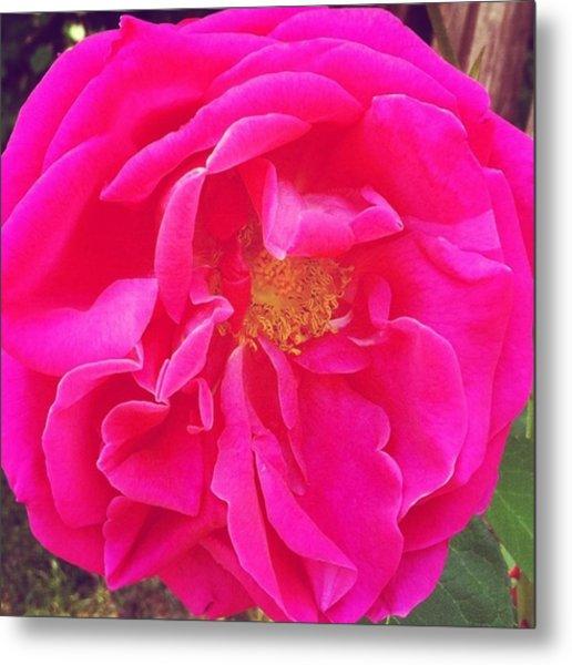 Just A Rose...#floral #flowers #pink Metal Print