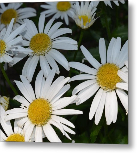 Just Daises Metal Print