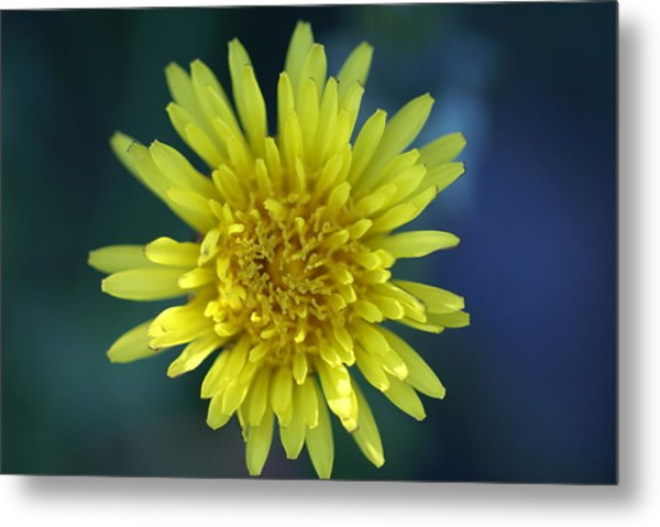 Just Dandy Metal Print by Patricia M Shanahan