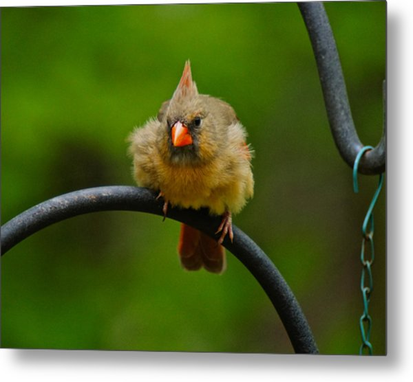 Metal Print featuring the photograph Just Doing A Little Feather Fluffing by Robert L Jackson