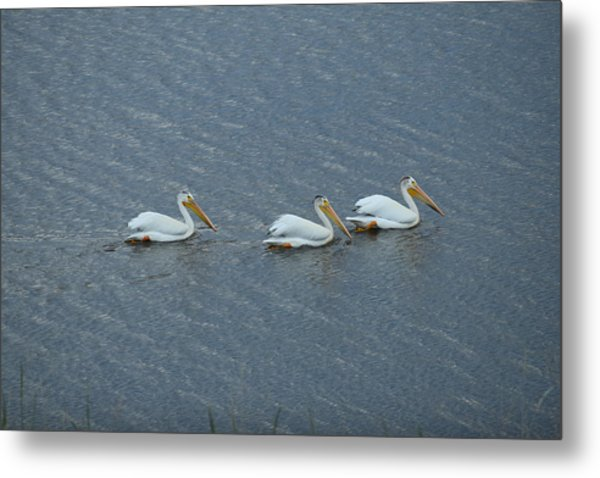 Triple Pelicans Lake John Swa Co Metal Print