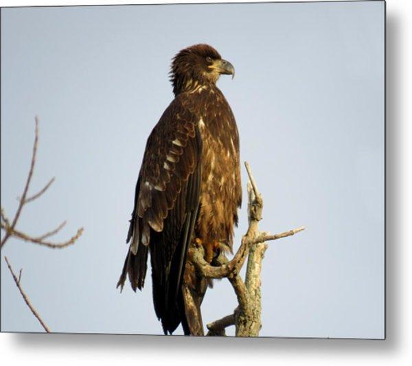 Juvenile Bald Eagle 1 Metal Print