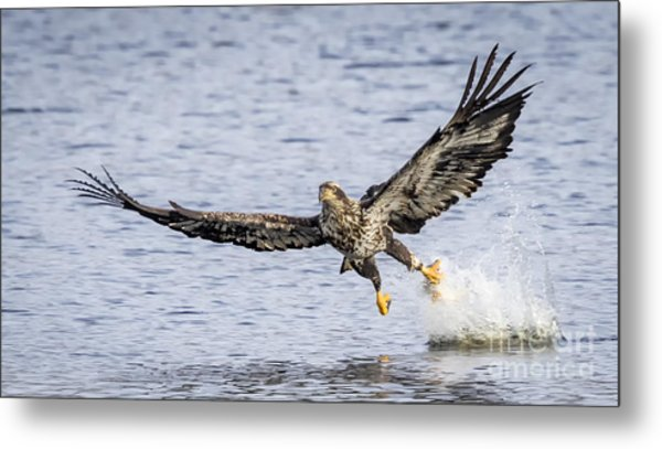 Juvenile Bald Eagle Fishing Metal Print