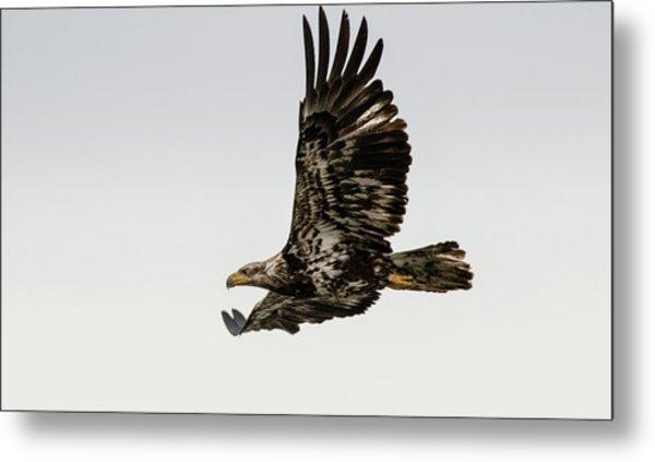 Juvenile Eagle Flying Metal Print