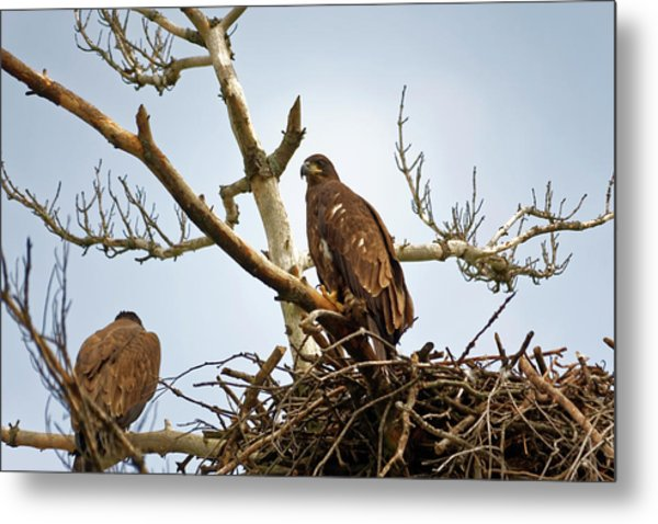 Juvenile Eagles Metal Print