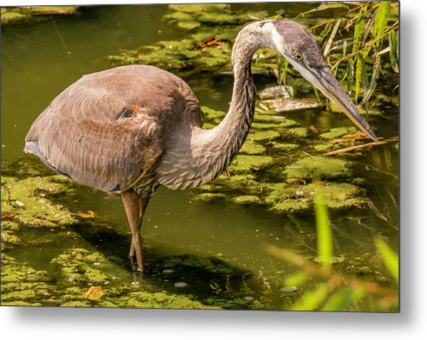 Juvenile Great Blue Heron Metal Print