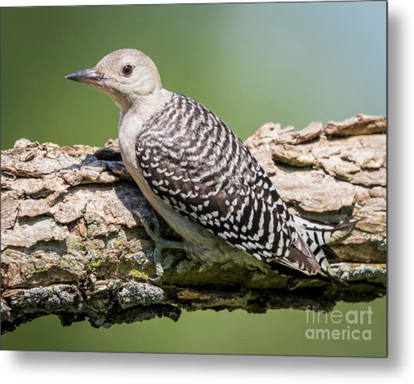 Juvenile Red-bellied Woodpecker Metal Print