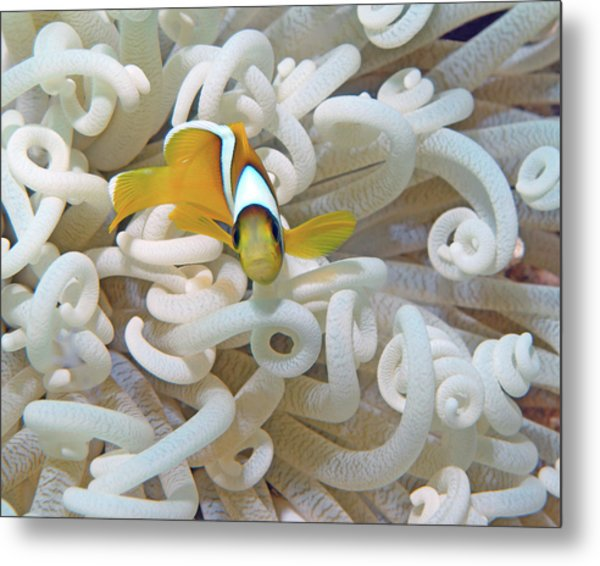 Juvenile Red Sea Clownfish, Eilat, Israel 3 Metal Print