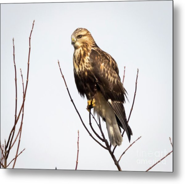 Juvenile Rough-legged Hawk  Metal Print