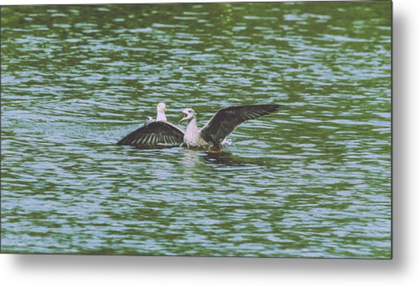 Metal Print featuring the photograph Juvenile Seagull In A Water by Jacek Wojnarowski