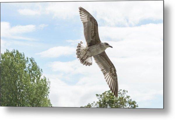 Metal Print featuring the photograph Juvenile Seagull In Flight by Jacek Wojnarowski