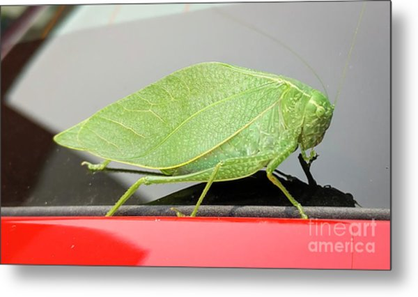 Katydids- Bush Crickets Metal Print