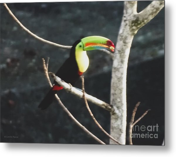 Keel-billed Toucan Metal Print
