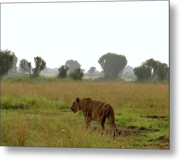 Uganda Wildlife Before Qenp - Lioness Going For A Walk Metal Print