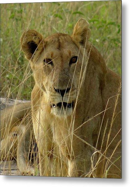 Uganda Wildlife Before Qenp -lying Lioness Metal Print