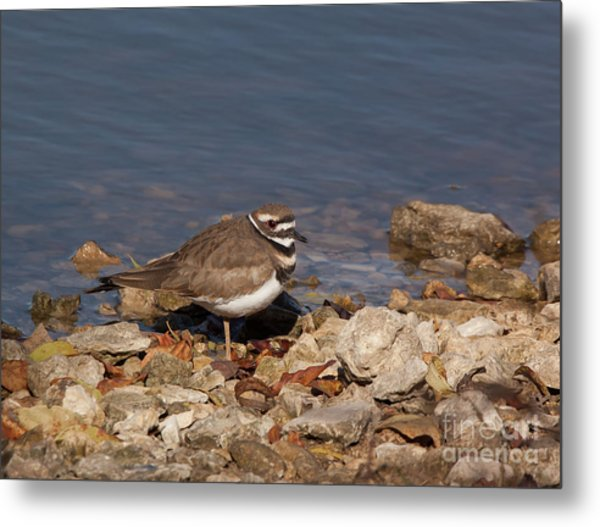 Kildeer On The Rocks Metal Print