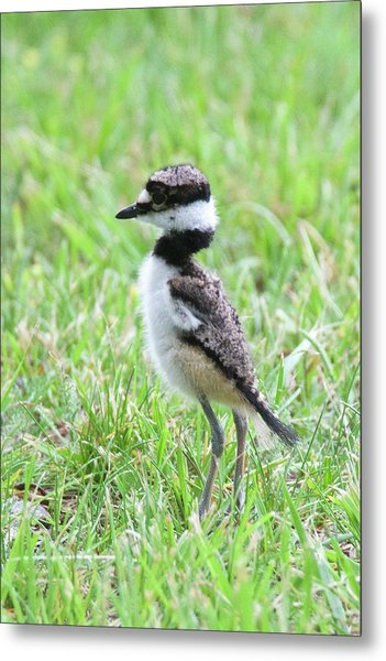 Killdeer Chick 3825 Metal Print