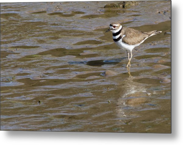 Killdeer Hunting Metal Print