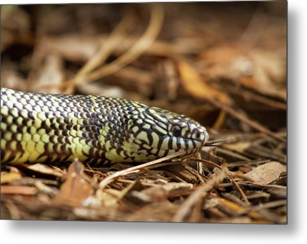 King Snake 1 Metal Print