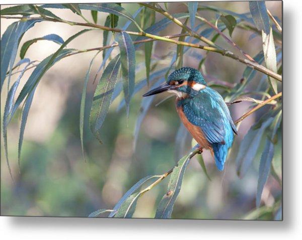 Kingfisher In Willow Metal Print