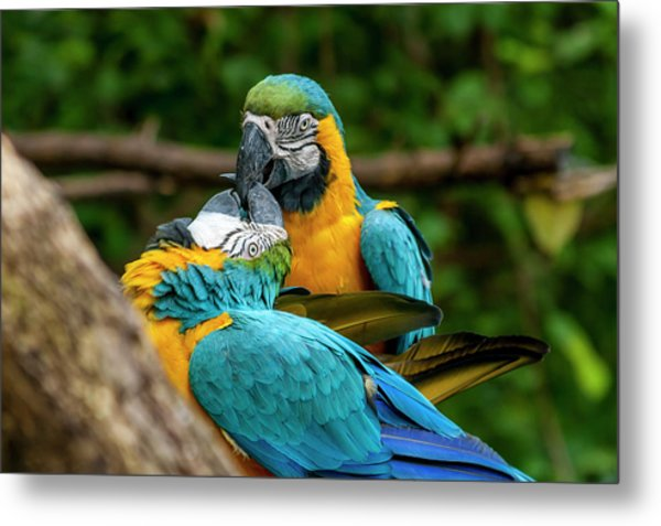 Kissing Parots Metal Print