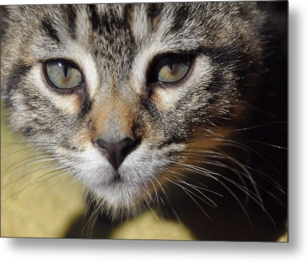 Kitten Curiosity Metal Print by JAMART Photography