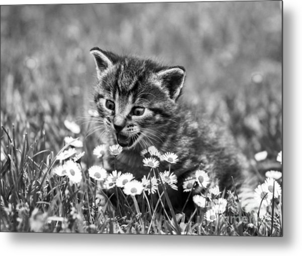 Kitten With Daisy's Metal Print