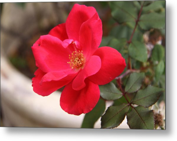 Knockout Red Metal Print by Paul Anderson