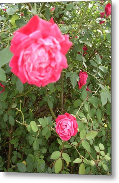 Knockout Roses Metal Print by Warren Thompson