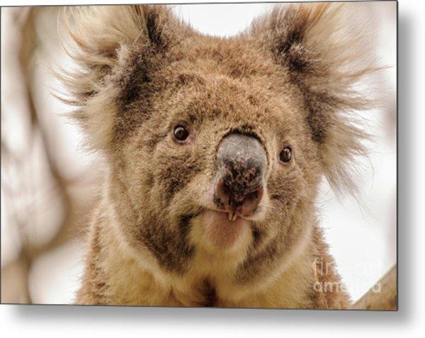 Koala 4 Metal Print