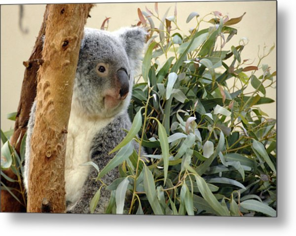 Koala Bear I Metal Print