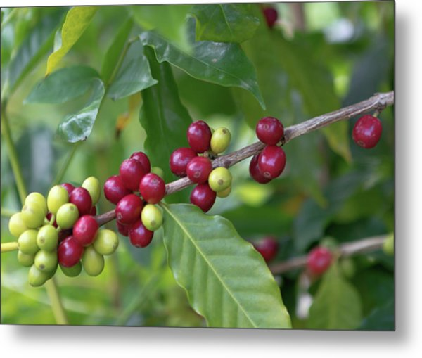 Metal Print featuring the photograph Kona Coffee Cherries by Susan Rissi Tregoning